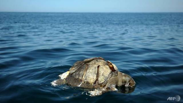 https://i1.wp.com/elpulso.hn/wp-content/uploads/2017/11/the-discovery-of-dead-sea-turtles-in-november-2017-recalled-a-similar-find-in-2013-between-september-and-october-when-hundreds-of-sea-turtles-were-found-dead-off-el-salvador-s-coast-1509669286296-2.jpg?resize=640%2C360&ssl=1
