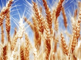 trigo, pan de vida, cristo