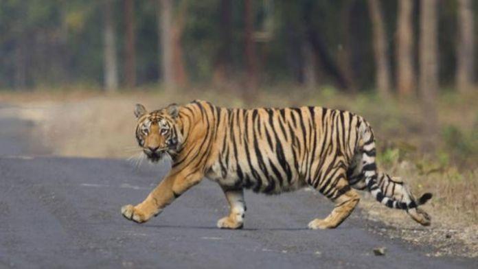 https://www.poresto.net/quintana-roo/2021/7/10/tigre-sorprende-automovilistas-en-la-carretera-cancun-leona-vicario-video-262924.html