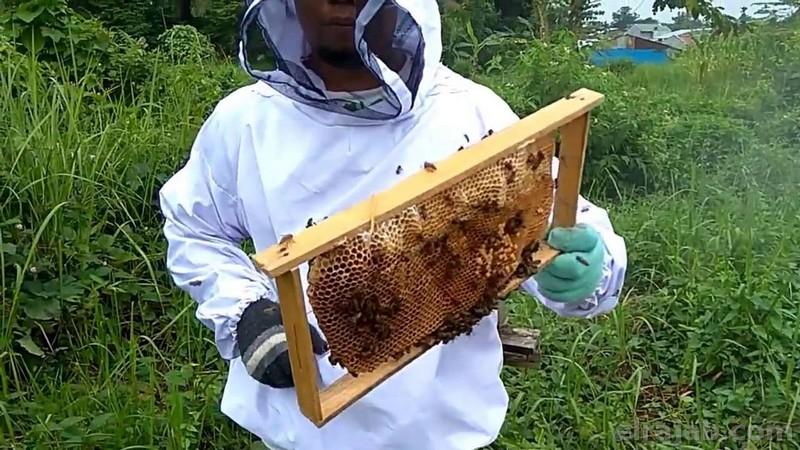 cara ternak tawon madu