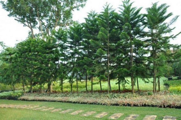 jenis pohon cemara norfolk