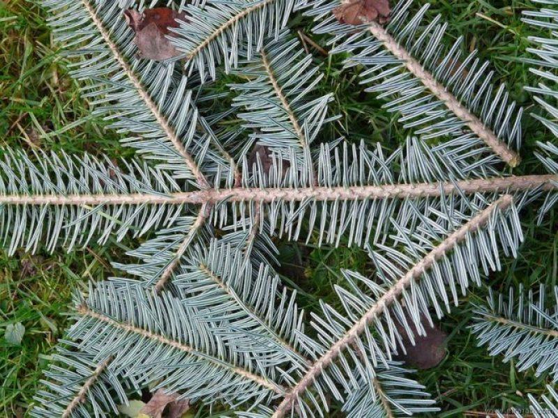 jenis pohon cemara perak