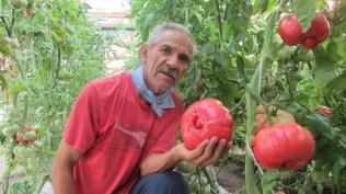 Jose Flores, agricultor de tomates rosados