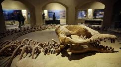 El fósil más grande Basulosaurus del mundo