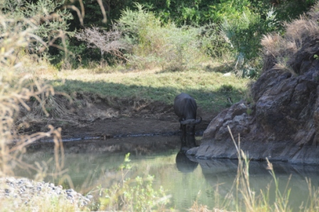 Buffalo sharing our little pond