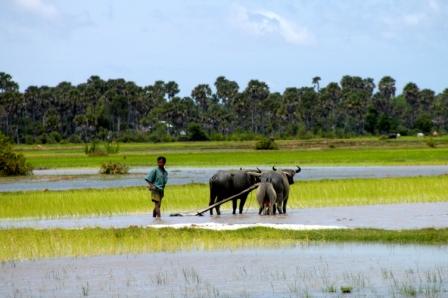 Working at the rice paddies