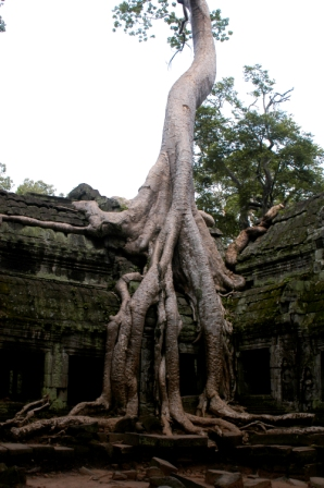 Large strangler fig growing at Ta Prohm temple