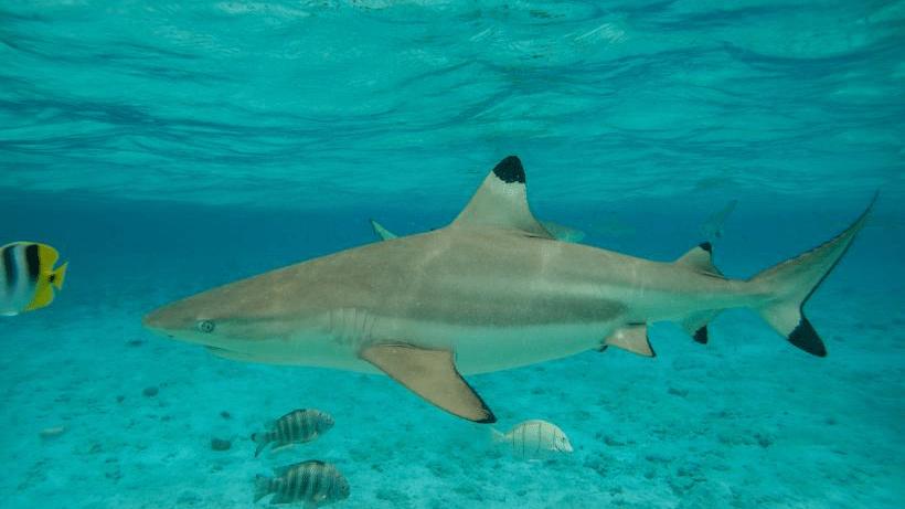 shark perhentian islands