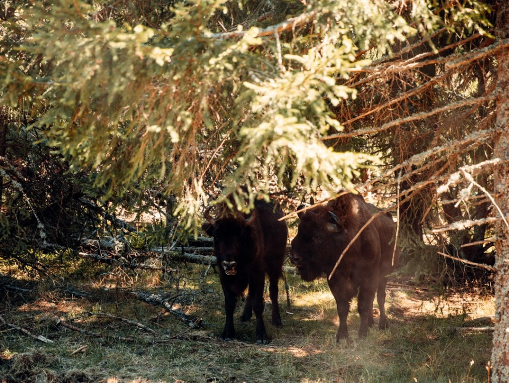 bison-europe-couple
