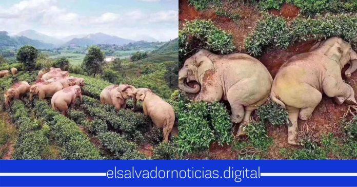 Una manada de elefantes es captada acercándose a una aldea en Yunan China para comer, terminaron bebiendo 30kg de vino, se emborracharon y se quedaron dormidos