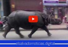 En Nepal un rinoceronte no deja que los ciudadanos salgan de sus casas para incumplir la cuarentena domiciliar
