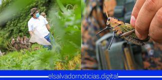 Gobierno de Bukele ejecuta Plan Nacional Contra la Langosta Voladora y Vigilancia Centroamericana que protegerá al país de esta plaga