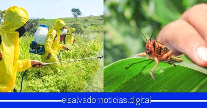 Gobierno de Bukele continúa realizando fumigación por presencia de plaga de langostas voladoras en cultivos