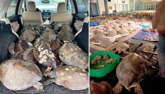 Rescatan a más de 3,000 tortugas de morir congeladas durante tormenta invernal en Texas