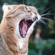 Los gatos y sus maullidos personalizados-Feliway
