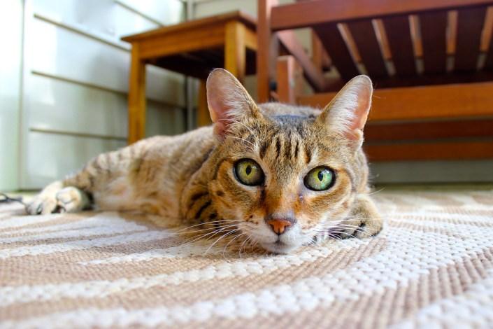 El estrés en gatos puede derivar en marcajes inadecuados