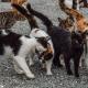 Los colores de los gatos: ¿cómo puede haber tantos diferentes?