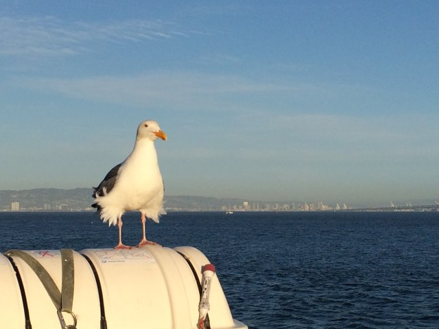 Dave the seagull, San Francisco