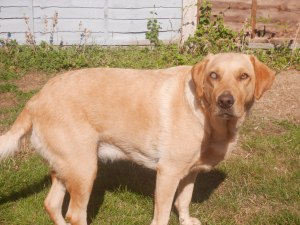 labrador with cloudy eye from uveitis