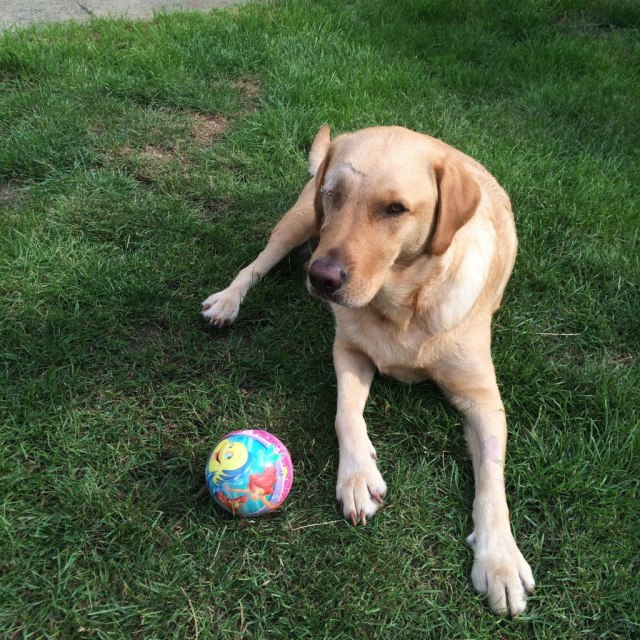 One eyed labrador wanting to play ball