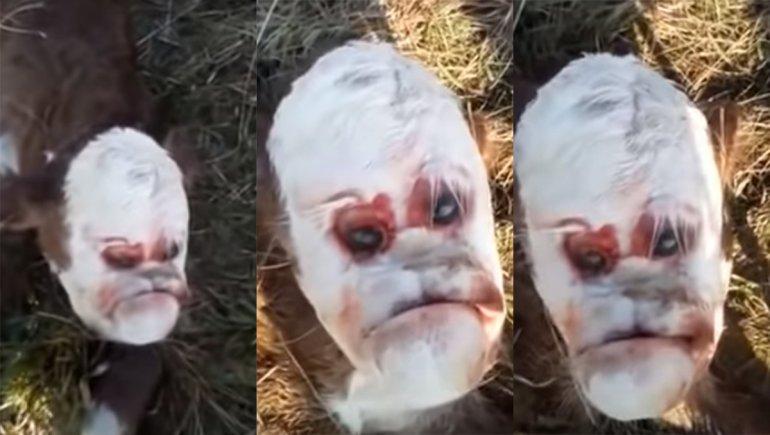 """Nacio un ternero con """"rostro humano"""" y convulsionó a un pueblo de Santa Fe(VIDEO)"""