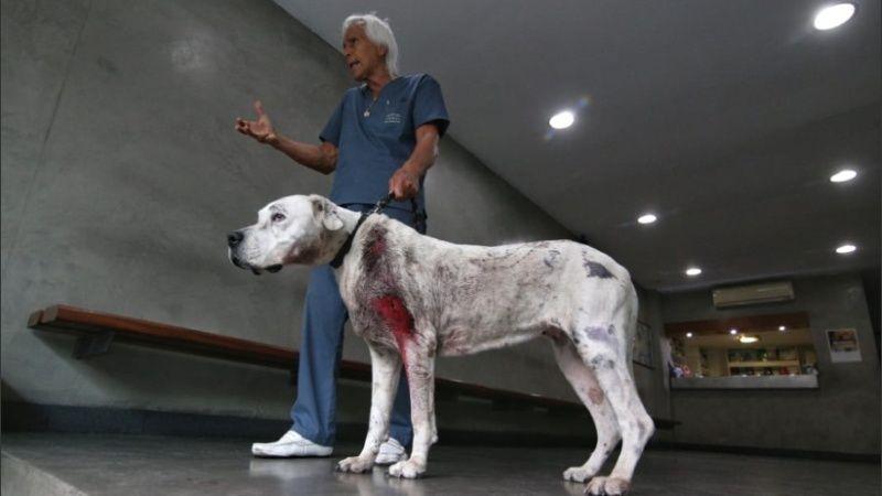 Una perra dogo recibió un tiro por salvar a sus dueños