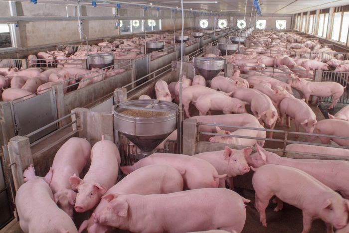 PRODUCCION: Por qué hay que temerle a las megagranjas porcinas