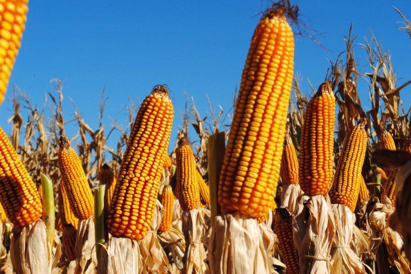 """"""" Tensión con el Campo """": El Gobierno nacional confirmó el cierre de exportaciones de maíz"""