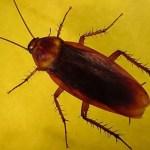 Soñar con cucaracha