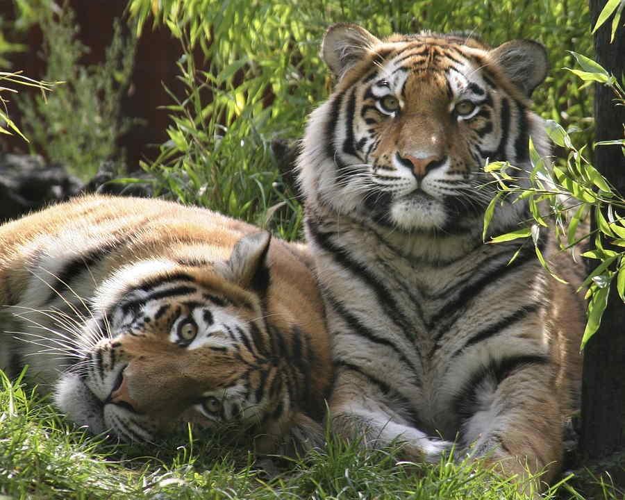 el significado de soñar con tigres