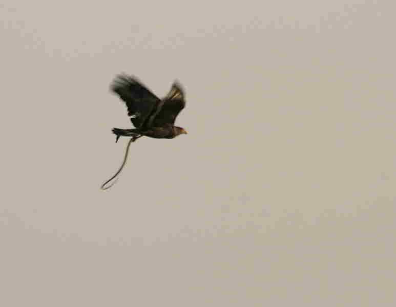 soñar con águilas buscando presas