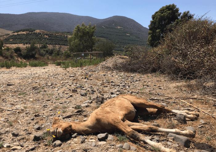 La sequía causa estragos en los animales pertenecientes a los campesinos