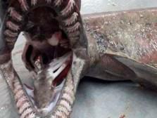 Resultado de imagen para portugal tiburón prehistorico