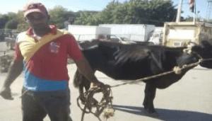 Vacas robadas por haitianos.