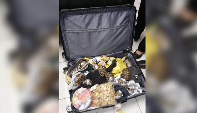 Las tortugas fueron trasladadas fueron encontradas en el interior de cuatro maletas. Foto cortesía