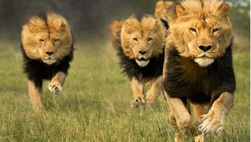 Un comunicado del parque indica que las indicaciones encontradas en la escena sugirieron que una manada de leones devoró los restos del cazador. Foto cortesía