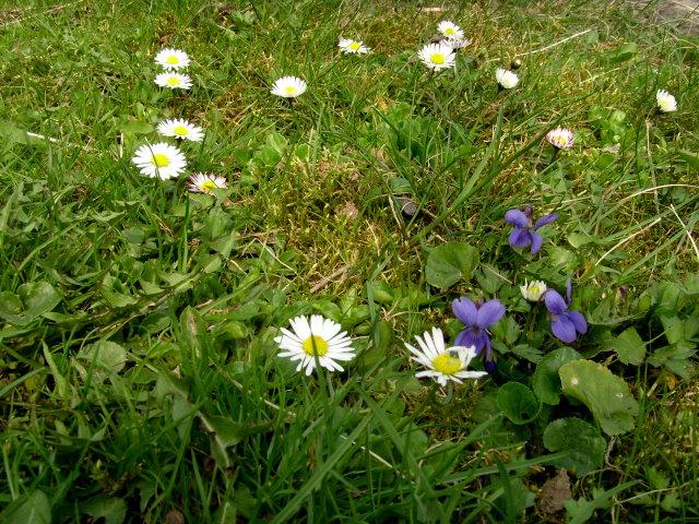 Gänseblümchen und Veilchen (Foto: H.H.)