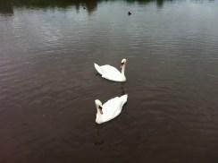 Swans create their own pattern