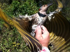 Nature's patterns in plumage - a Northern Flicker