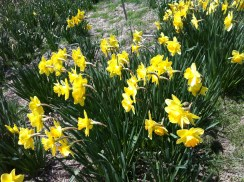 The deer do not often eat daffodils, though they do destroy everything else
