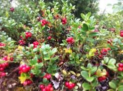 Norwegian version of cranberries