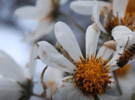 Incendios forestales de la región, afectan a las abejas