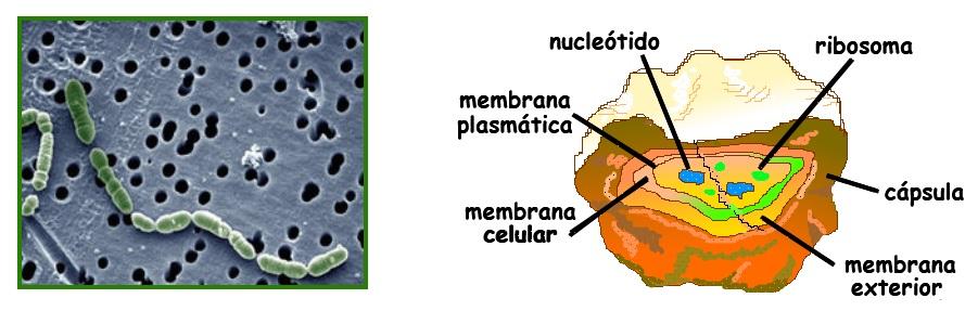 Resultado de imagen para colonia de bacterias Oenococcus