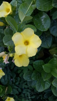 Tecoma Sans (I think) or just yellow flower