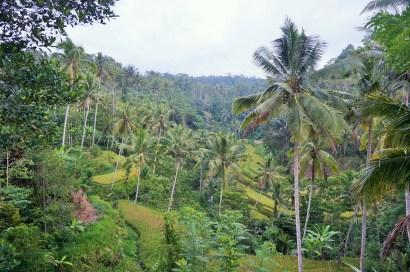 Reisfeldterrassen im Gunung Kawi Tempel
