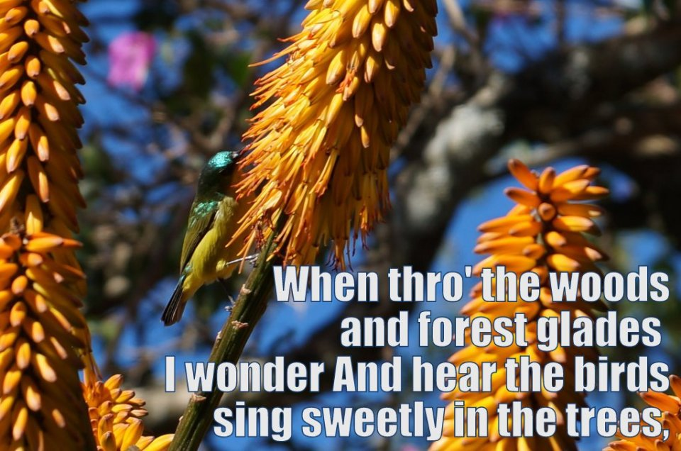 How Great Thou Art - Second Verse - When thro the woods and forest glades I wander and hear the birds sing sweetly in the trees.