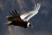 El Condor - Ave Nacional (Emblema)