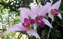 Flor nacional de Colombia
