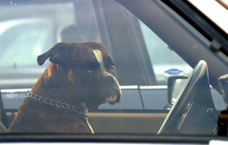 Pies w rozgrzanym samochodzie a właścicielka na zakupach