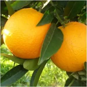 Oranges - Orange Magical Properties - Elune Blue (4)